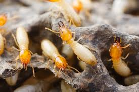 Termite Control in Jaipur, TERMITE CONTROL IN JAIPUR: 12 ASTOUNDING FACTS ABOUT TERMITES
